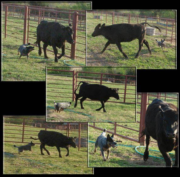 Australian Cattle Dog Herding Cattle