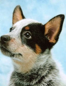 Australian Cattle Dog Blue Puppy